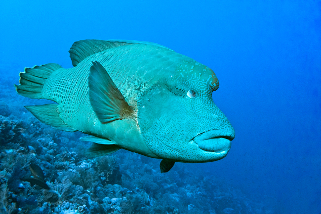 Humphead Wrasse (Cheilinus undulates) endangered, via Shutterstock