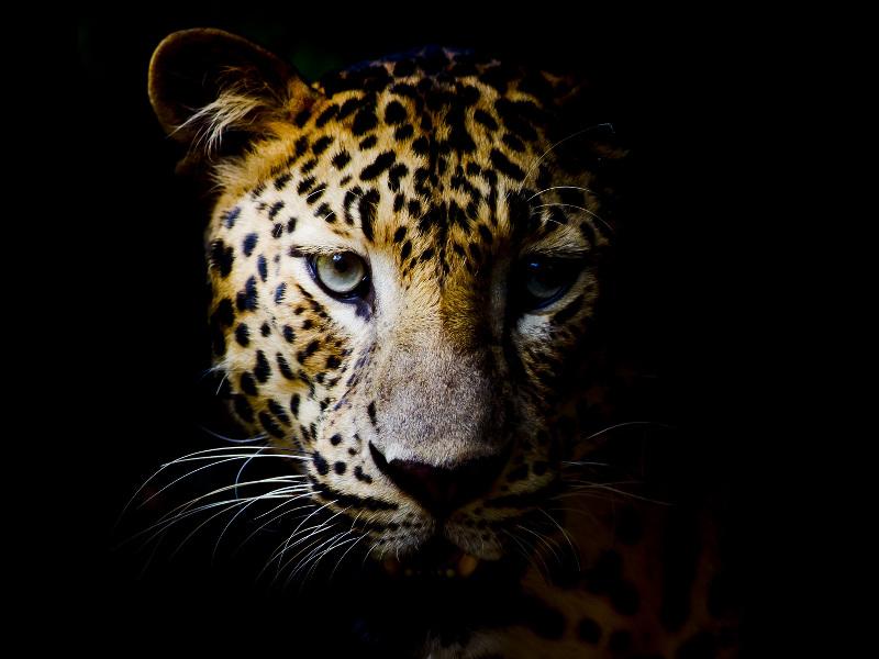 Leopards facing immense land crisis as extinction looms