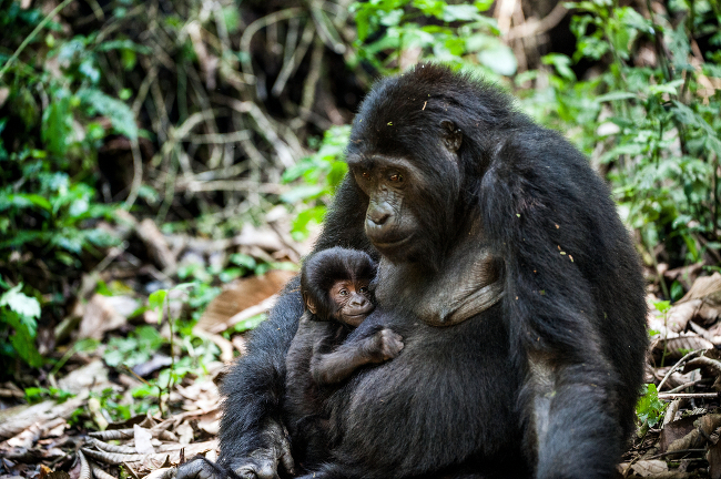 Mountain Gorilla (Gorilla beringei beringei) critically endangered, via Shutterstock