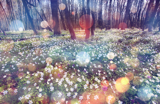 Snowdrop anemone in the forest, via Shutterstock | How many plants are there in the world?