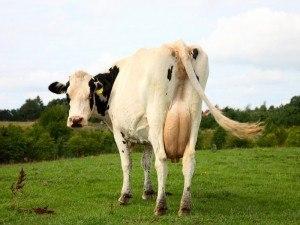 Antibiotics cows