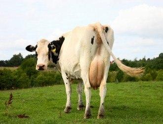 Cow dung plus antibiotics equals ultimate ozone killer