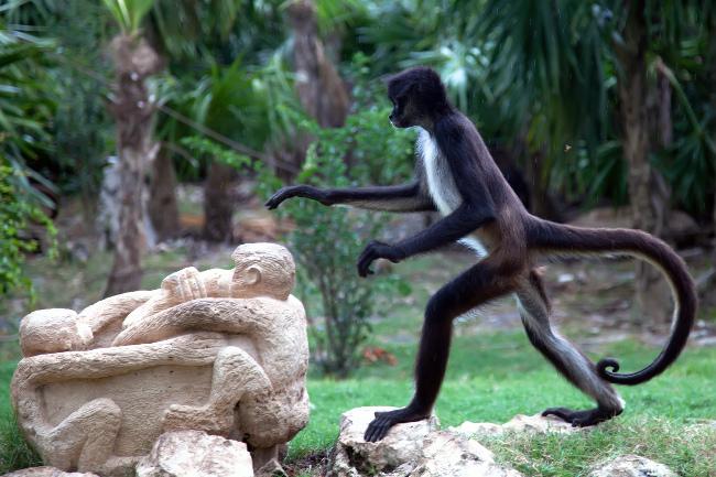 Spider Monkey (Ateles paniscus) endangered, via Shutterstock