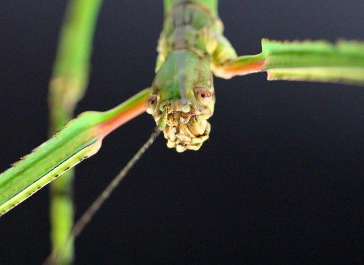 Stick insect World's biggest insect