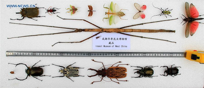 World's longest insect