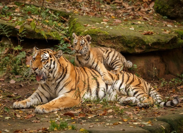 Tigers endangered