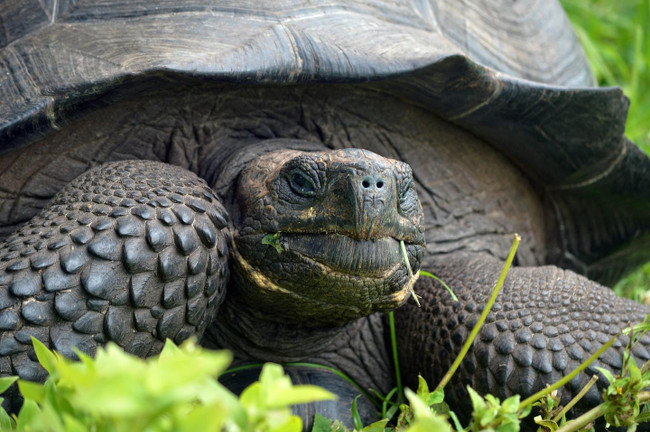 "The new species was named in honor of a park ranger known as ""Don Fausto,"" who worked 43 years to conserve the giant tortoises of Galapagos, via Washington Tapia"