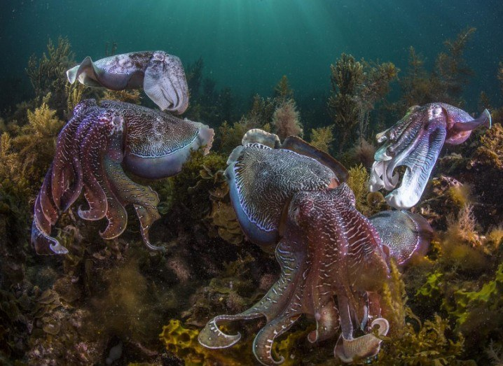 This is a photograph of giant Australian cuttlefish (Sepia apama), Spencer Gulf, South Australia, via Scott Portelli