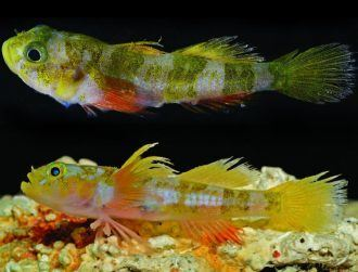 Godzilla goby, peacock spiders and worms are our newest species