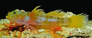 A live male specimen of the new Godzilla goby fish (holotype), via Barry Brown