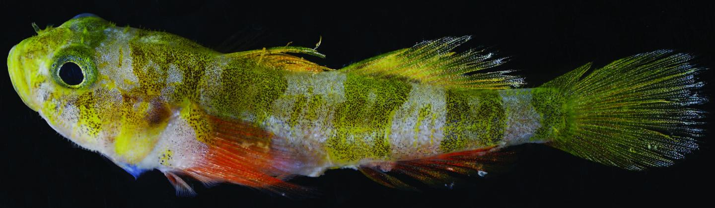 The holotype of the new Godzilla goby fish prior to preservation, via Carole Baldwin and Ross Robertson