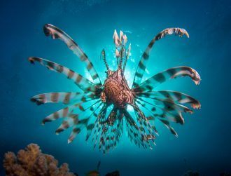 Prides of poisonous lionfish invading the Mediterranean