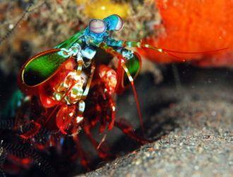 Mantis shrimp's killer punch inspires new armour
