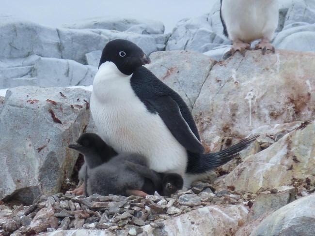 University of Delaware researchers project a grim future for Adélie colonies of penguins, via University of Delaware/ Megan Cimino