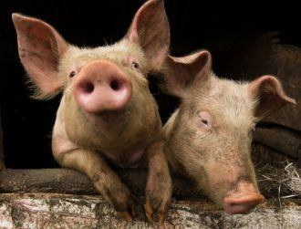 Pig grunts actually mean something – researchers