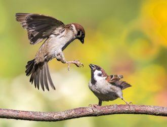 Jilted sparrow dads care less for young after lovers' affairs