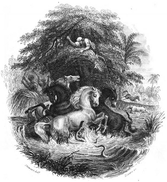This is a historic illustration of Alexander von Humboldt's story of the battle between the horses and electric eels, via Public Domain