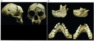 Photographs of LB1 cranium and LB1 and LB6 mandibles. (A) The cranium is shown in right lateral and anterior views. (B) The LB1 (left) and LB6 (right) mandibles are shown in left lateral and occlusal views.