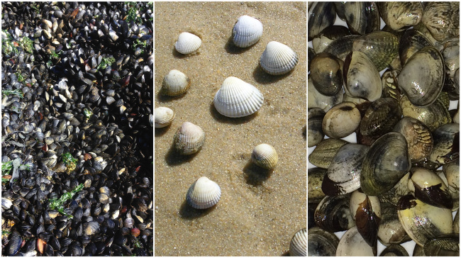 Mussels (left) at taken at Copper Beach in West Vancouver, cockles (centre) and golden carpet shell clams collected in the ria of Arousa in Galicia
