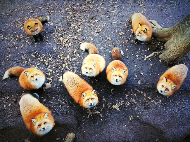 "Erica Wu's picture of foxes – ""My photo was taken in the Miyagi zao fox village while I was feeding the foxes, it was a very a dramatic scene when they all stared at me at the same time so I took out my iPhone to capture the moment immediately."" IPPAWARDS iPhone"