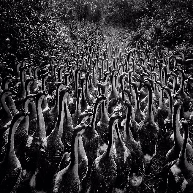 "Junbiao Cai's gaggle of geese – ""Yangjiang, Guangdong is famous for the Yellow Bristle Goose […] At dusk, swarms of yellow bristle geese are marching, quite a spectacular scene, especially with the dust and backlight."" IPPAWARDS iPhone"