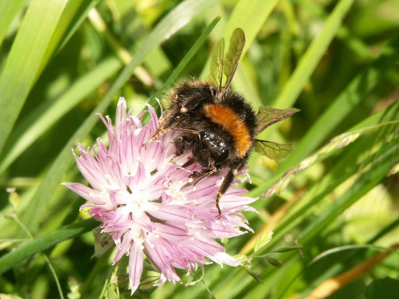 A new initiative to save Irish bees starts in your garden