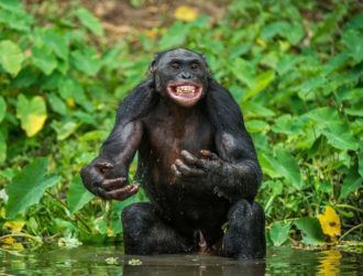 Female bonobos use 'sexual swelling' to trick protective males