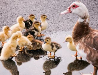 Ducklings are smarter than you may have thought