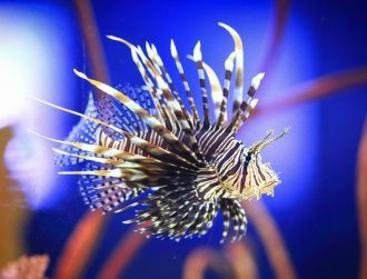 Venomous fish are almost always purely defensive, lionfish an exception