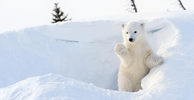 Polar bear greenpeace