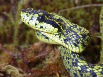 100-year case of mistaken identity solved, new venomous snake found