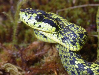 100-year case of mistaken identity solved, new venomous snake found