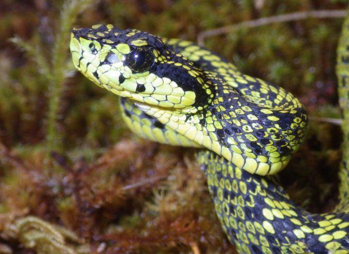 New snake talamancan palm-pitviper