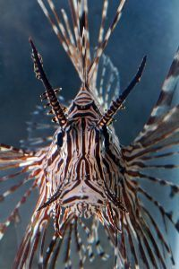 This is the last thing many fishes see, a head-on view of a Venomous Devil Firefish, via W. Leo Smith