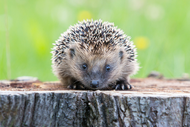 Dream job: Hedgehog officer