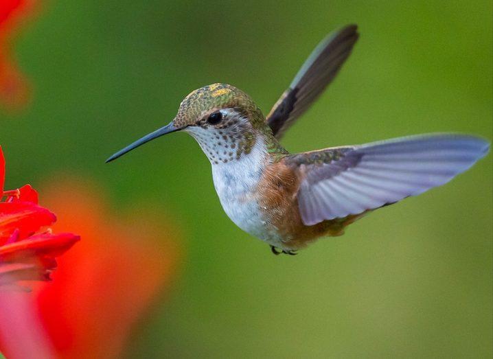 hummingbird_shutterstock