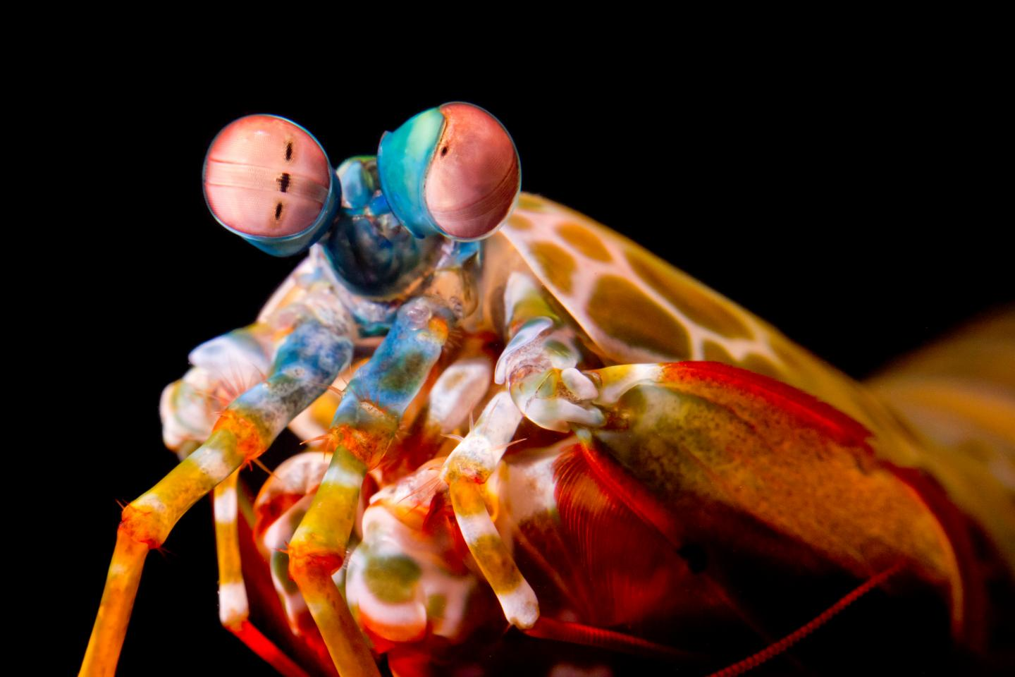 Mantis shrimp eyes fascinating, via Michael Bok, University of Lund