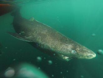 Ye olde Greenland sharks can live for 400 years, perhaps longer…