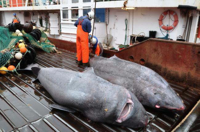 Greenland sharks caught by fishermen. Image via University of Copenhagen.
