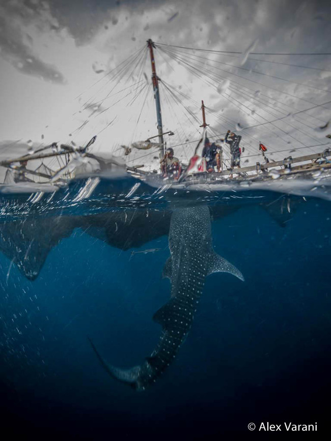 Runner-up: 'The whale sharks of Cendrewasih Bay', by Alex Varani