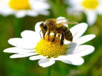 Why are we being asked to keep a lookout for bees in Ireland?
