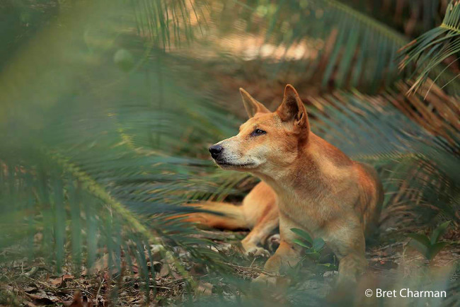 Winner: 'Palm grove dingo' – Dingo, by Bret Charman