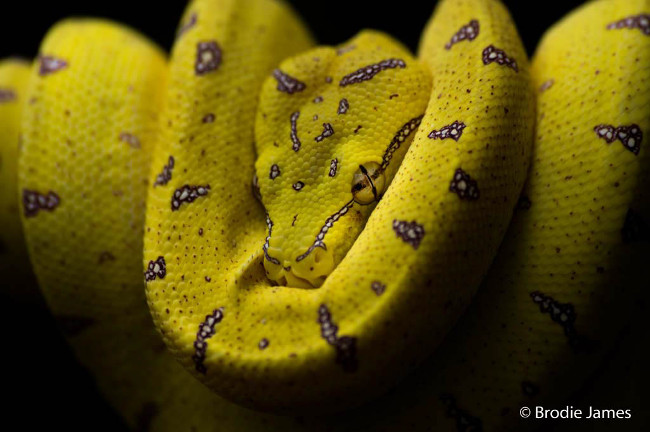 Finalist: 'Jewel of the jungle' – Green tree python, by Brodie James
