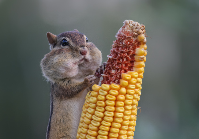 Eastern Chipmunk stuffing her cheeks with corn until they looked ready to pop at Wasaga Beach. Comedy Wildlife Photo Awards 2016 via Barb D'Arpino / Barcroft Images