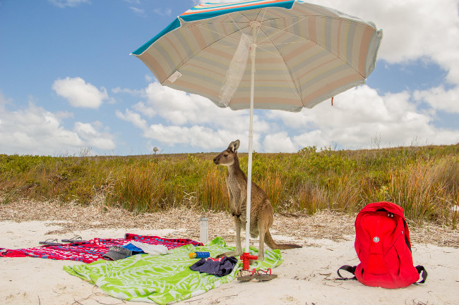 A regular beach day for a kangaroo. Comedy Wildlife Photo Awards 2016 via Rosario Losano Cordoba / Barcroft Images