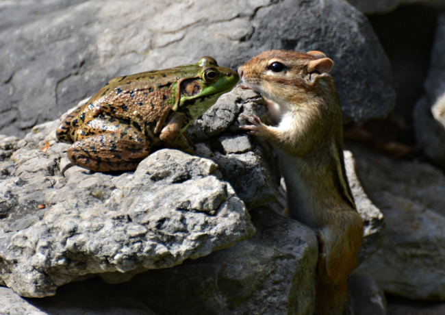 A frog and chipmunk share a romantic kiss. Comedy Wildlife Photo Awards 2016 via Isabelle Marozzo / Barcroft Images
