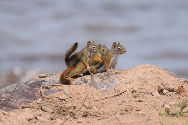 Cute family of squirrels pictured on a family outing. Comedy Wildlife Photo Awards 2016 via Yvette Richard / Barcroft Images