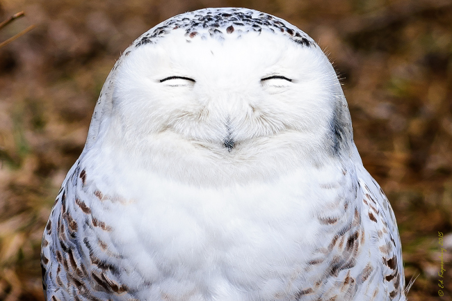 One very content snowy owl. Comedy Wildlife Photo Awards 2016 via Edward Kopeschn / Barcroft Images