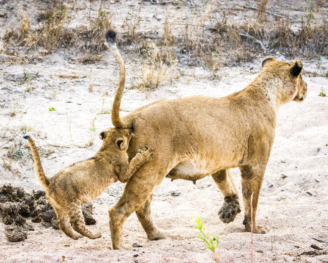 A lion cub follows its mother very closely. Comedy Wildlife Photo Awards 2016 via Douglas Croft / Barcroft Images