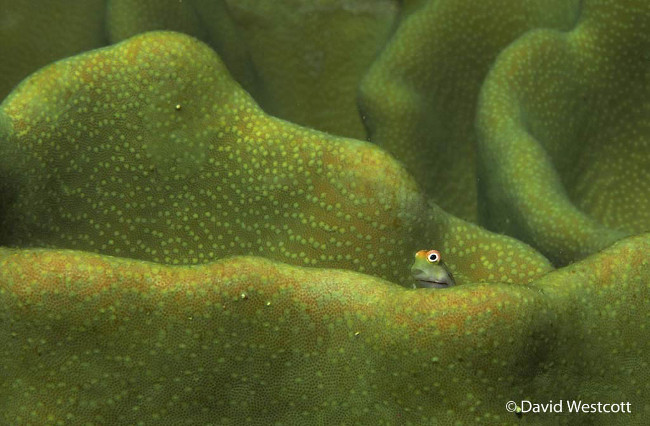 Winner: 'Well, hello' – Smallspotted combtooth blenny, by David Westcott Nature photography
